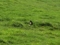 Murmele genießt die Nachmittagssonne.